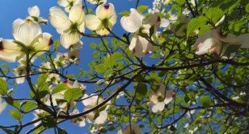 La Province de Hainaut et la Ville d'Enghien distribuent gratuitement des arbres